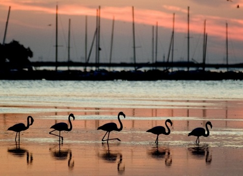Flamingos Peyriac de Mer