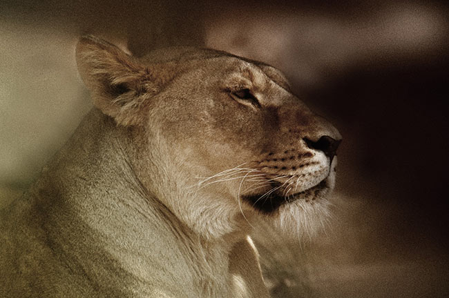 Lions of Sigean African Reserve