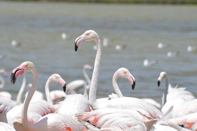 Flamingoes Sigean African Reserve